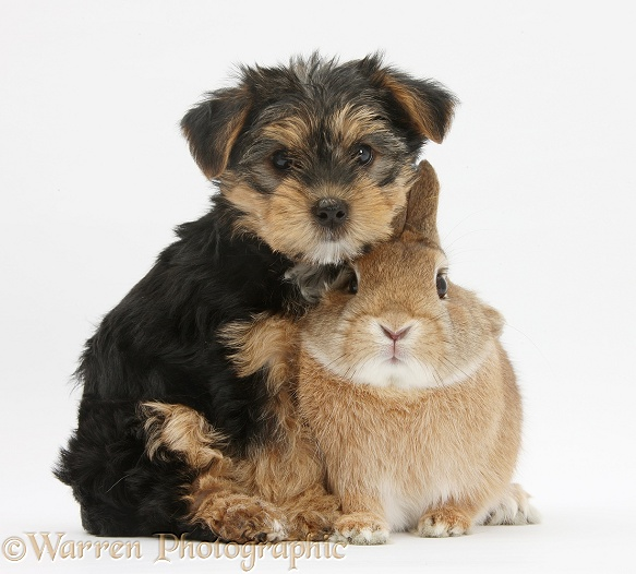 Yorkshire Terrier pup, Evie, 8 weeks old, with sandy Netherland dwarf-cross rabbit, Peter, white background