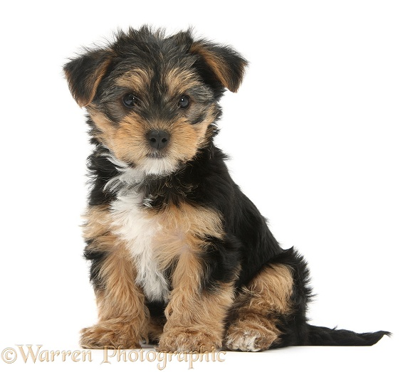 Yorkshire Terrier-cross pup, Evie, 8 weeks old, white background
