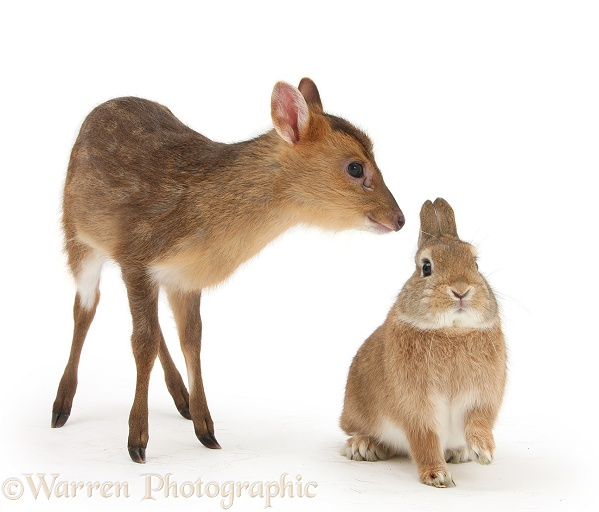 Muntjac (Muntiacus reevesi) deer fawn and Sandy rabbit, Peter, white background