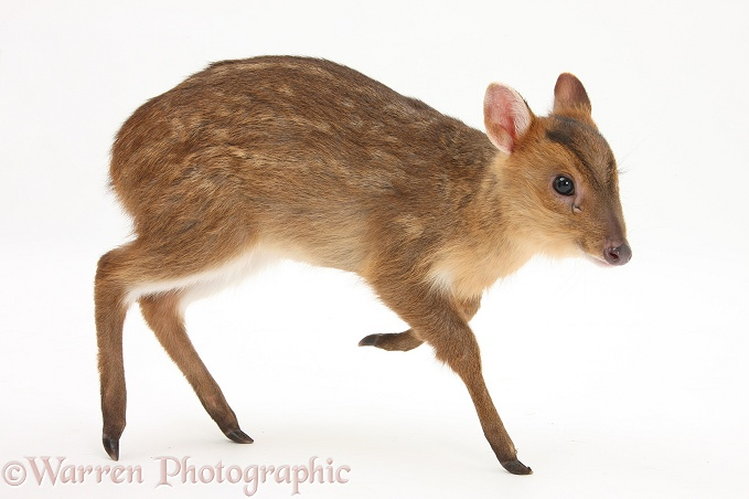Muntjac (Muntiacus reevesi) deer fawn, white background