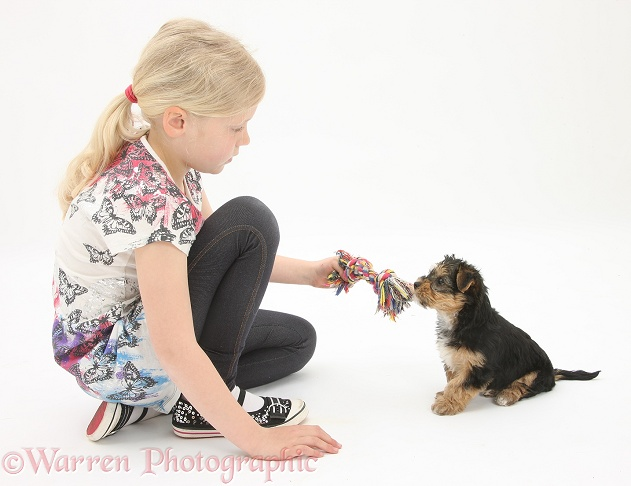 Siena playing with Yorkshire Terrier pup, 7 weeks old, white background