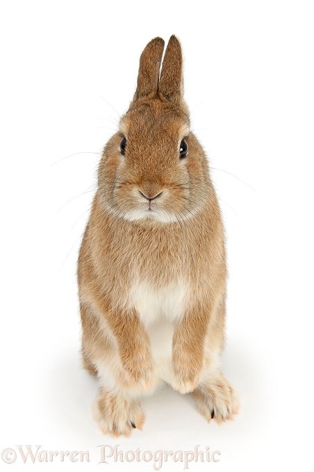 Netherland dwarf-cross rabbit, Peter, standing up, white background