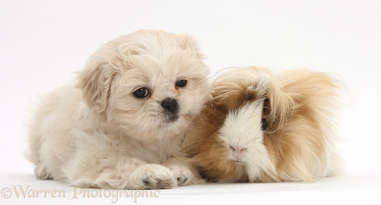 Shih-tzu pup, Lilly, 7 weeks old, with bad-hair-day Guinea pig, white background