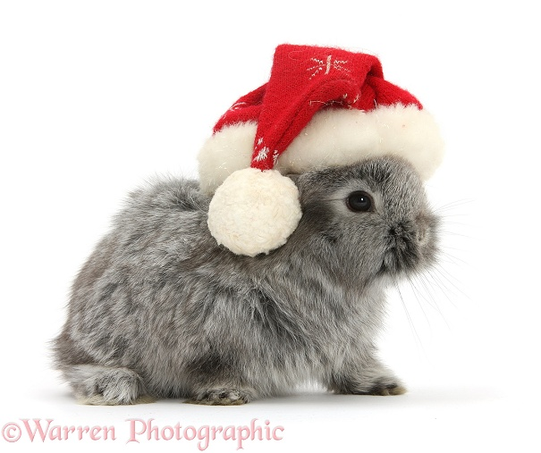 Young Silver Lionhead rabbit wearing a Father Christmas hat, white background