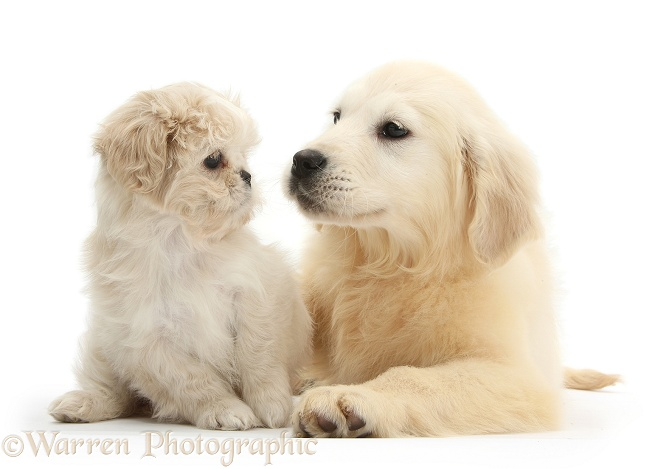 Golden Retriever pup, Daisy, 16 weeks old, with cream Shih-tzu pup, Lilly, 7 weeks old, white background