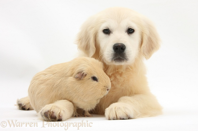 Golden Retriever pup, Daisy, 16 weeks old, and yellow Guinea pig, white background