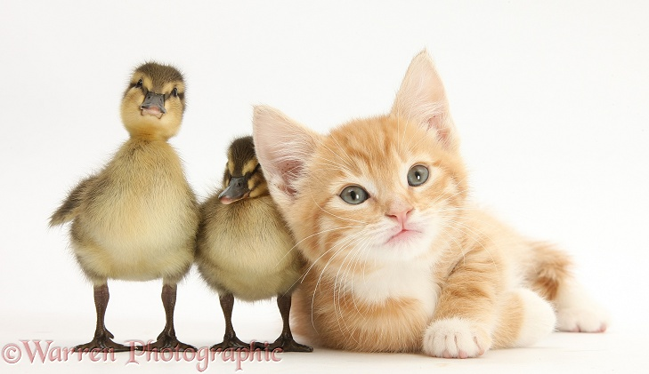 Ginger kitten and Mallard ducklings, white background