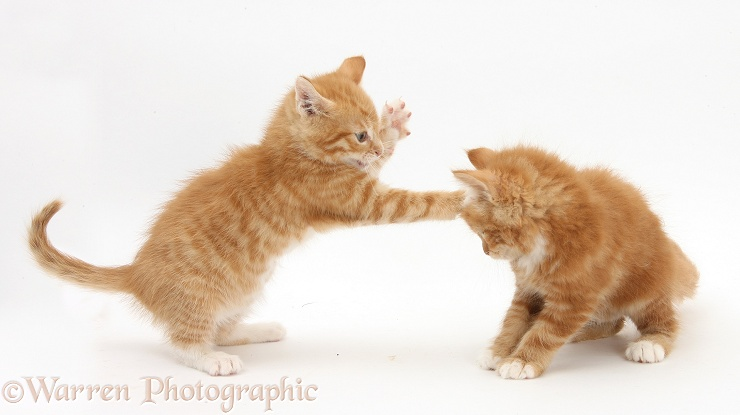 Two ginger kittens, Tom and Butch, 7 weeks old, play-fighting, white background