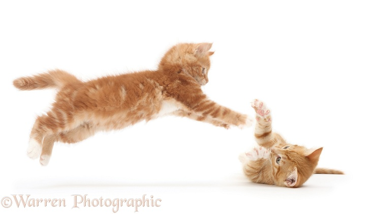 Playful ginger kitten, Butch, 9 weeks old, taking a flying leap at his brother, lying on his back in defence, white background