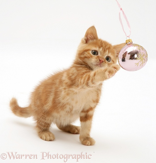 Red tabby kitten playing with a Christmas bauble, white background