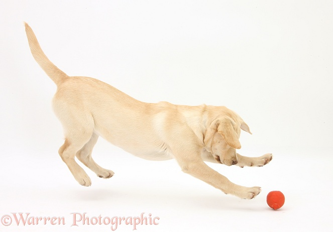 Yellow Labrador pup, 5 months old, chasing a ball, white background