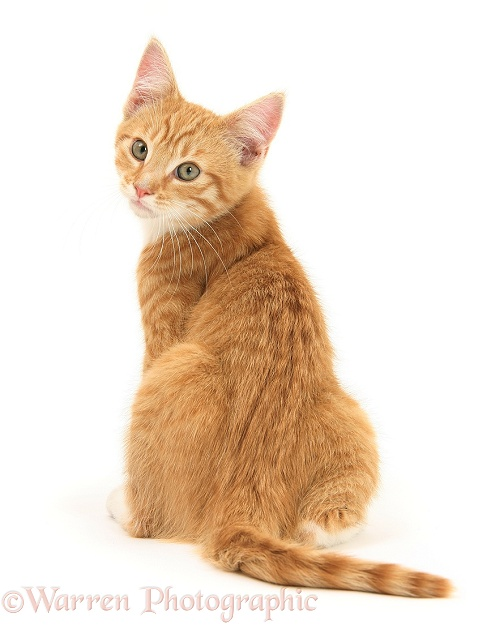 ginger kitten looking over his shoulder photo   wp27934