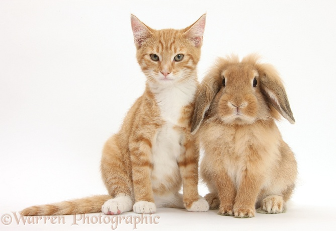 Ginger kitten, Tom, 3 months old, with Sandy Lionhead-cross rabbit, white background