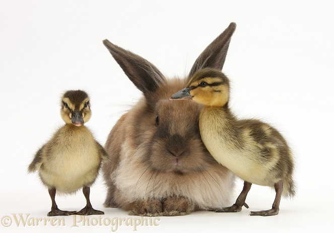 Young Lionhead-Lop rabbit and Mallard ducklings, white background