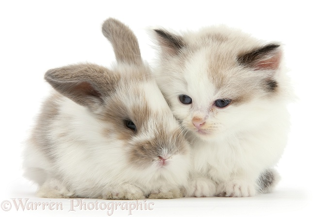 Colourpoint kitten with baby rabbit, white background