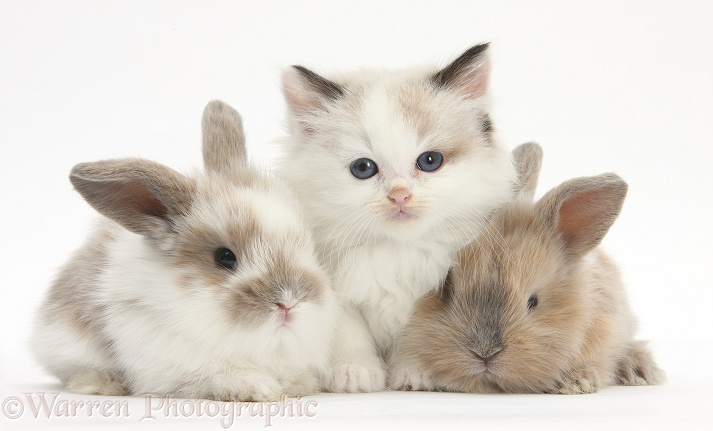 Colourpoint kitten with baby rabbits, white background