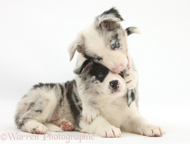 Cute merle Border Collie pups, white background
