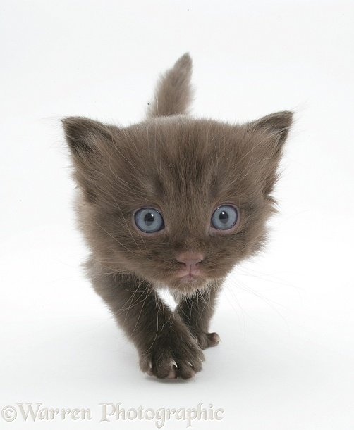 Chocolate kitten walking forward, white background