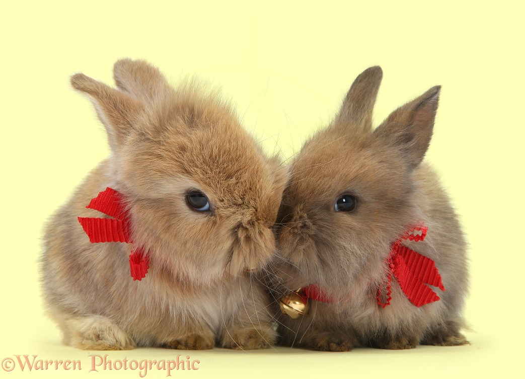 Two baby Lionhead-cross rabbits wearing bells, white background