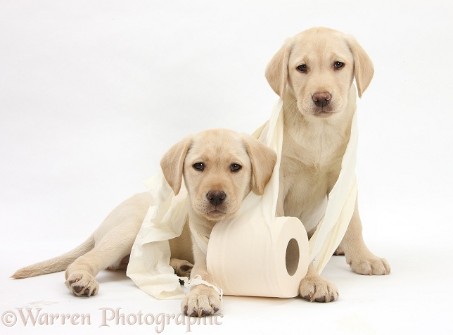 Yellow Labrador Retriever bitch pups, 10 weeks old, with toilet roll, white background