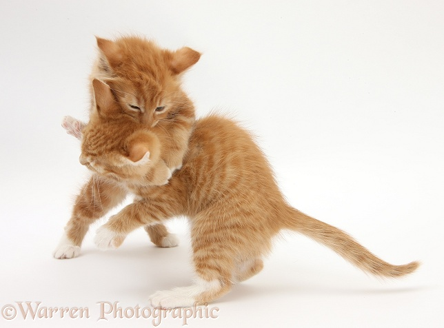 Two ginger kittens, Tom and Butch, 8 weeks old, play-fighting, white background