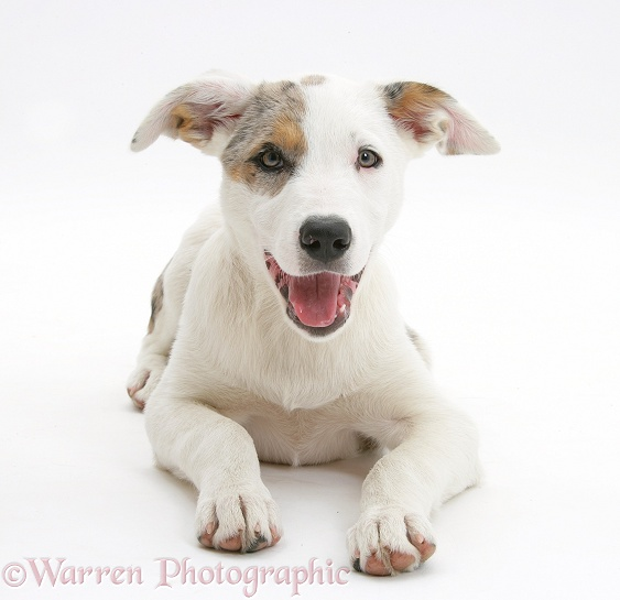 Merle-and-white Border Collie-cross dog pup, Ice, 14 weeks old, white background