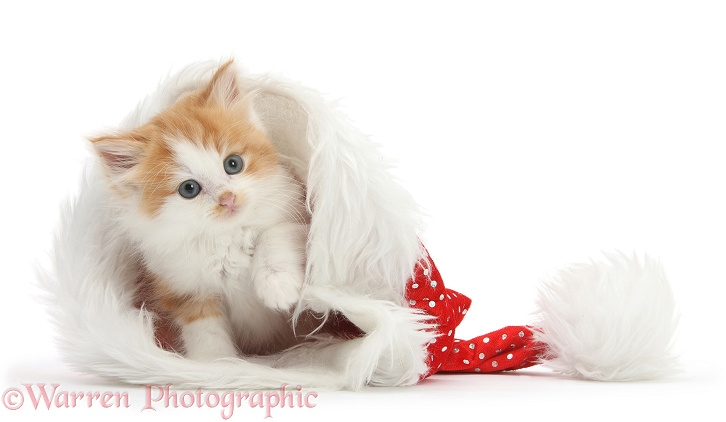 Ginger-and-white kitten in a Father Christmas hat, white background