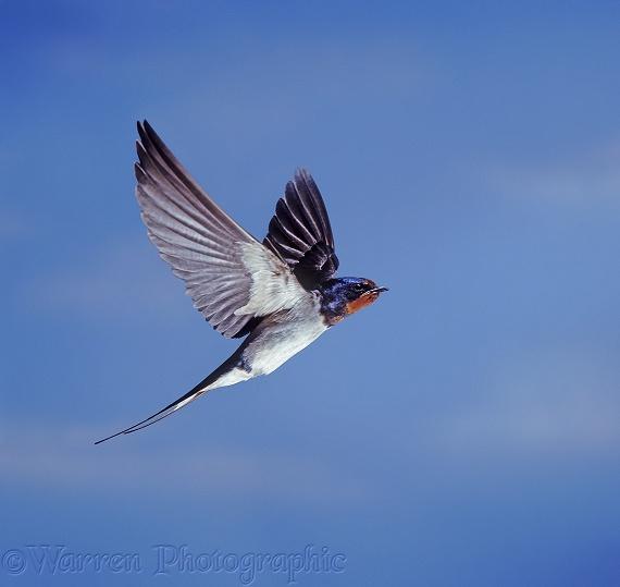 Barn Swallow In Flight 36