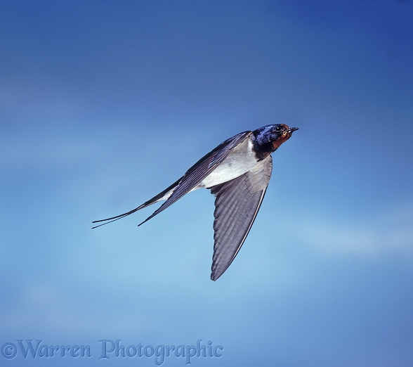 Barn Swallow (Hirundo rustica) bringing food to the nest