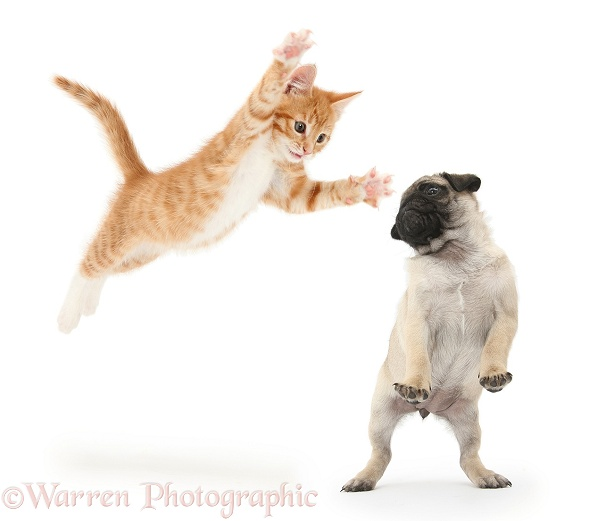 Ginger kitten leaping a Pug pup, white background