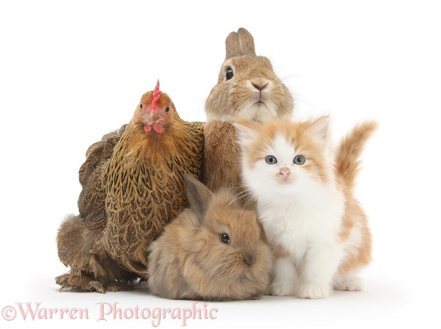 Partridge Pekin Bantam with ginger-and-white kitten, sandy Netherland dwarf-cross rabbit, Peter, and baby Lionhead cross rabbit, white background