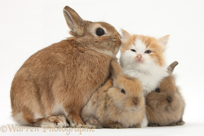 Ginger-and-white kitten, sandy Netherland dwarf-cross rabbit, Peter, and baby Lionhead cross rabbits, white background