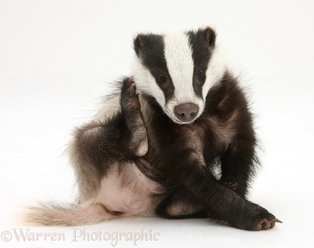 Young Badger (Meles meles) scratching himself, white background