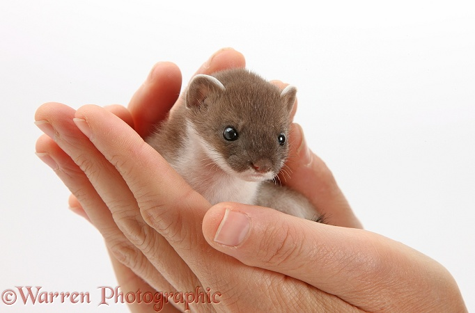 Baby Stoat (Mustela erminea) in hands, white background