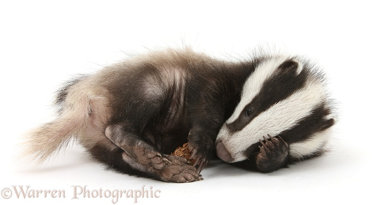 Playful young Badger (Meles meles) with a fir cone, white background