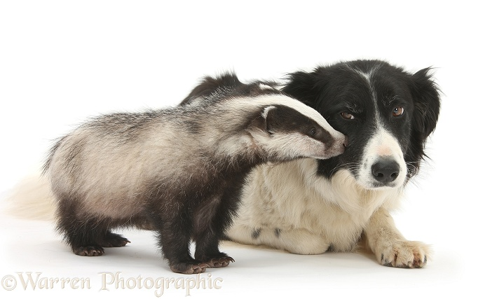 Young Badger (Meles meles) and black-and-white Border Collie, Phoebe, white background