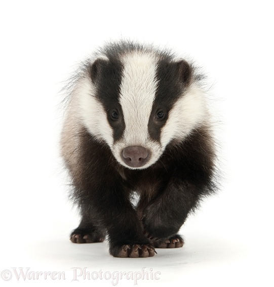 Young Badger (Meles meles) running, white background