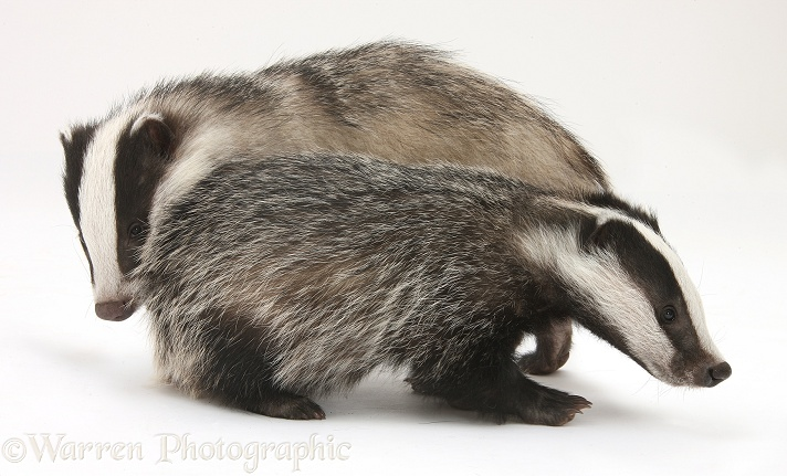 Two playful young Badgers (Meles meles), white background
