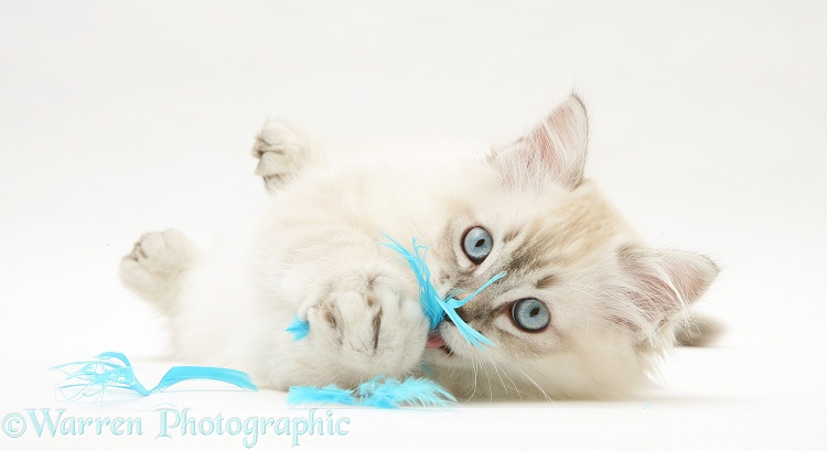 Sepia tabby-point Birman-cross kitten playing with blue feathers, white background