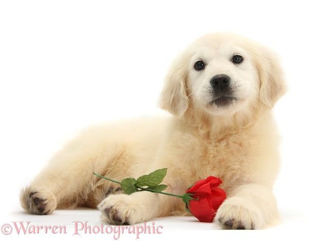 Yellow Labrador Retriever bitch pup, Daisy, 16 weeks old, with a red rose, white background