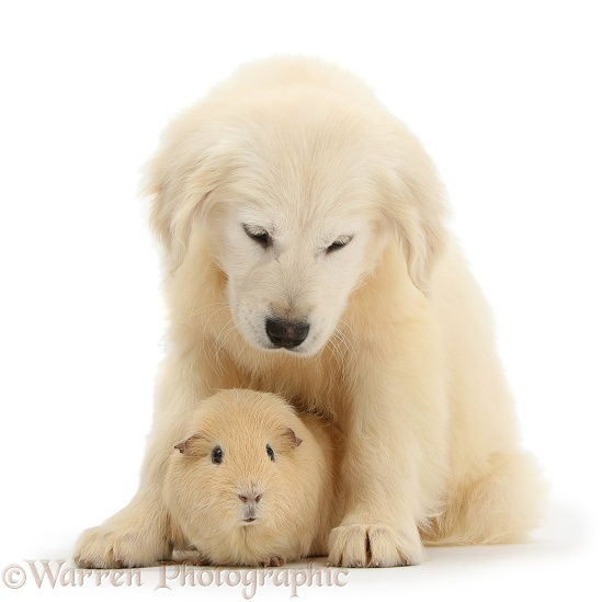 Golden Retriever pup and yellow Guinea pig