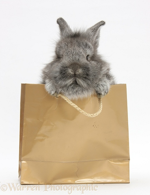 Young Silver Lionhead rabbit in a gold gift bag, white background