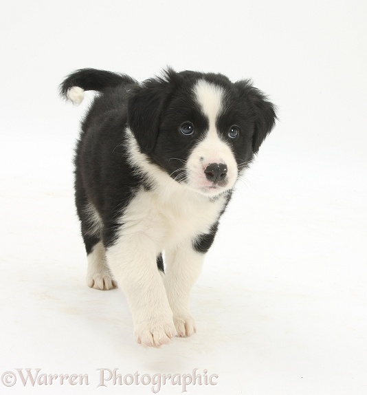 Black-and-white Border Collie pup, 6 weeks old, walking, white background