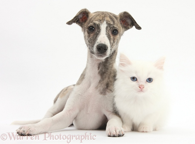 Brindle-and-white Whippet pup, Cassie, 9 weeks old, with white Maine Coon-cross kitten, white background