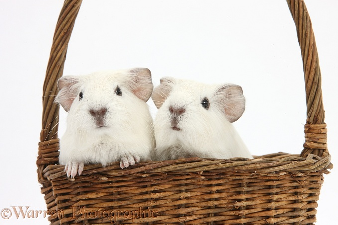 Baby white Guinea pigs in a wicker basket, white background