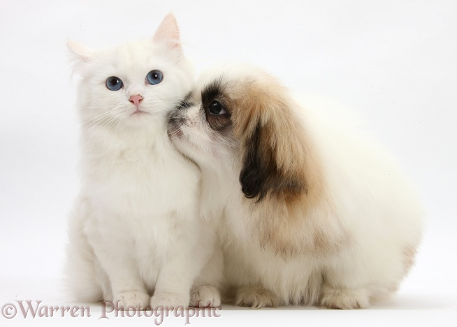 Parti colour Pekingese pup, Kiki, 11 weeks old, with white Maine Coon-cross kitten, white background