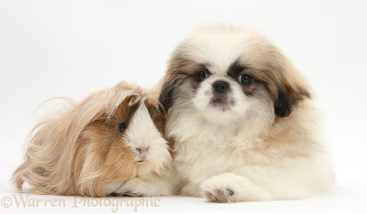 Parti colour Pekingese pup, Kiki, 11 weeks old, with Guinea pig, white background