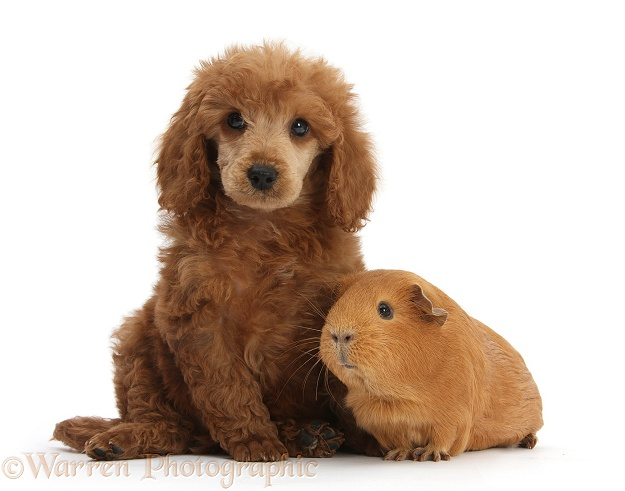 Apricot miniature Poodle pup, Ruebin, 8 weeks old, with red Guinea pig, white background