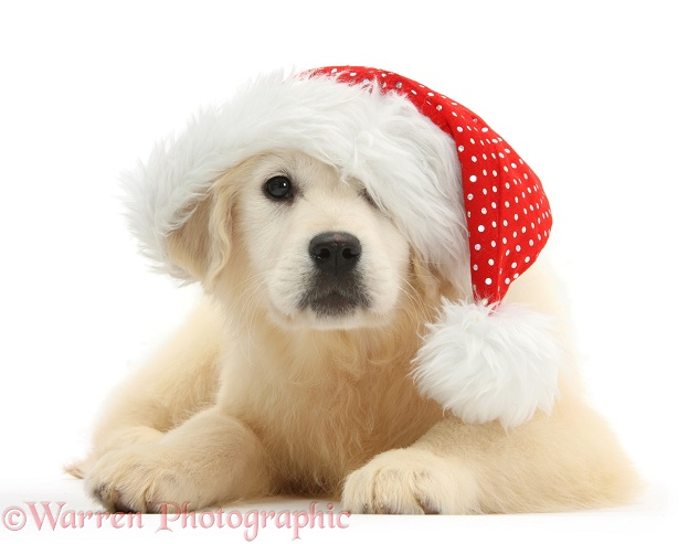Yellow Labrador Retriever pup, Daisy, 16 weeks old, wearing a Father Christmas hat, white background