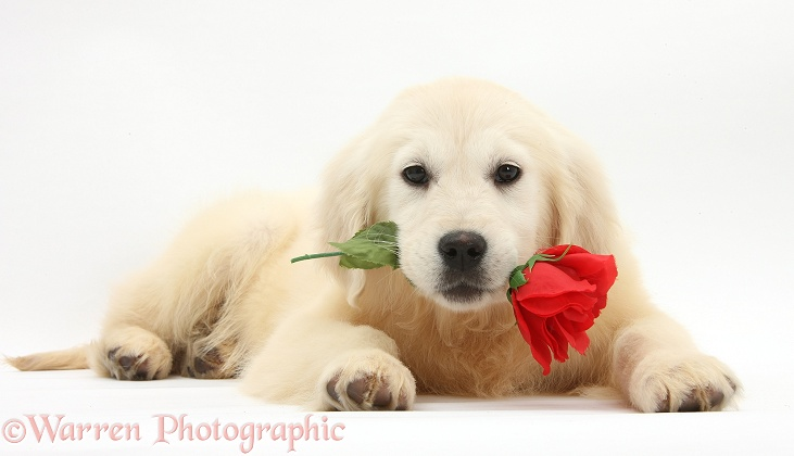 Yellow Labrador Retriever bitch pup, Daisy, 16 weeks old, holding a red rose, white background